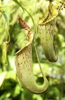 Flycatcher carnivorous plant