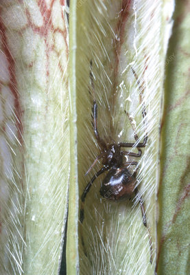 Spider Trapped in Pitcher Plant