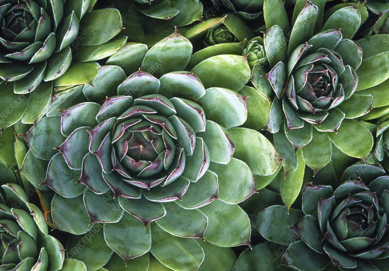 'Hens and chicks' succulents