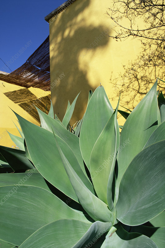 Fox tail agave (Agave attenuata)