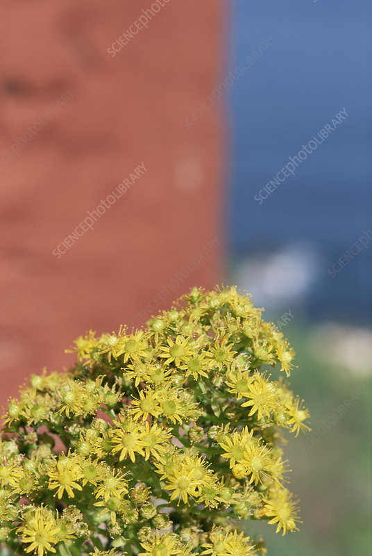 House leek (Aeonium sp.)
