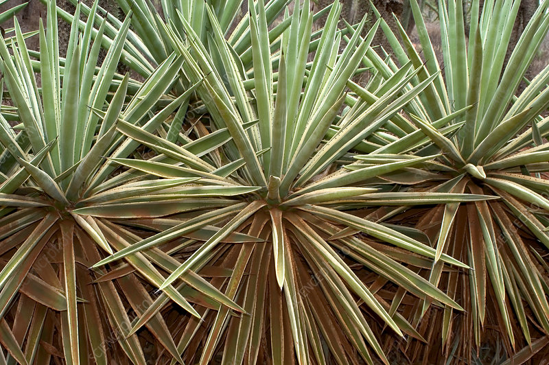 Thicket of sisal, Madagascar
