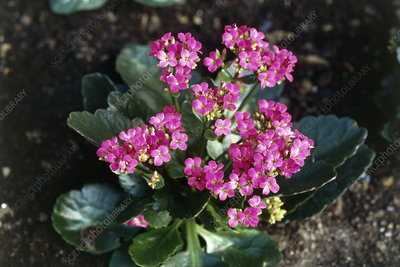 Kalanchoe 'Pink' flowers