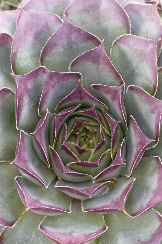Houseleek (Sempervivum 'Mahogany')