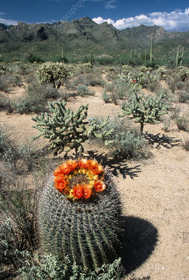 Fishhook Barrel Cactus Flowers