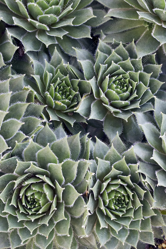 Houseleek (Sempervivum 'Corsair')
