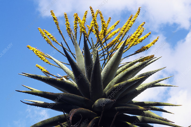 Flowering tree aloe (Aloe bainesii)