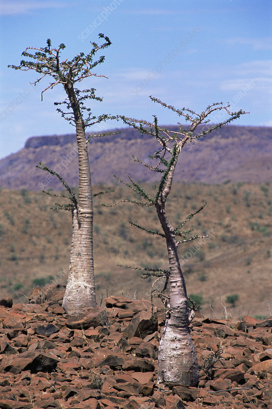 Bottle trees (Pachypodium sp.)