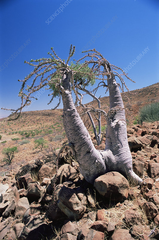 Bottle tree (Pachypodium sp.)