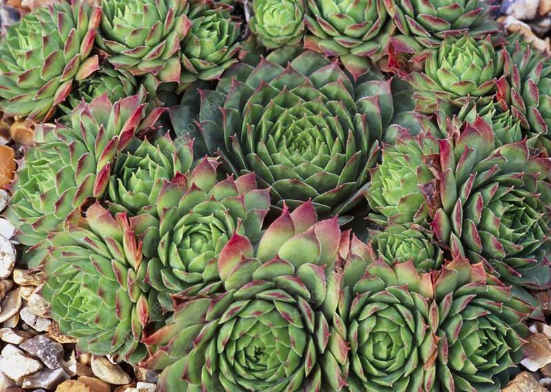 Sempervivum 'Rubra Ray'