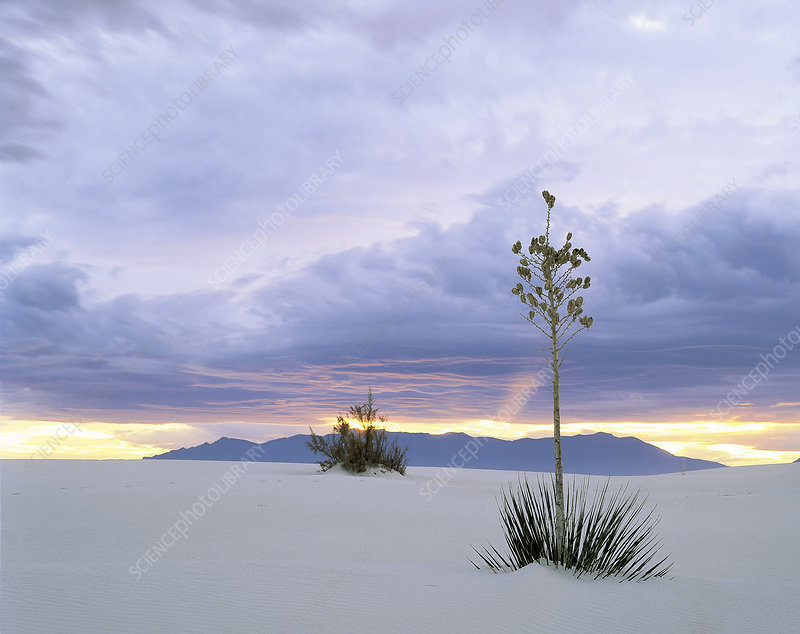 Sunset on Yucca at White Sands Nat. Mon
