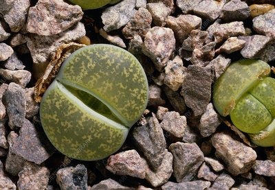 Living stone (Lithops lesliei 'Albinica')