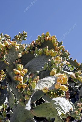 Prickly pear cacti (Opuntia sp.)