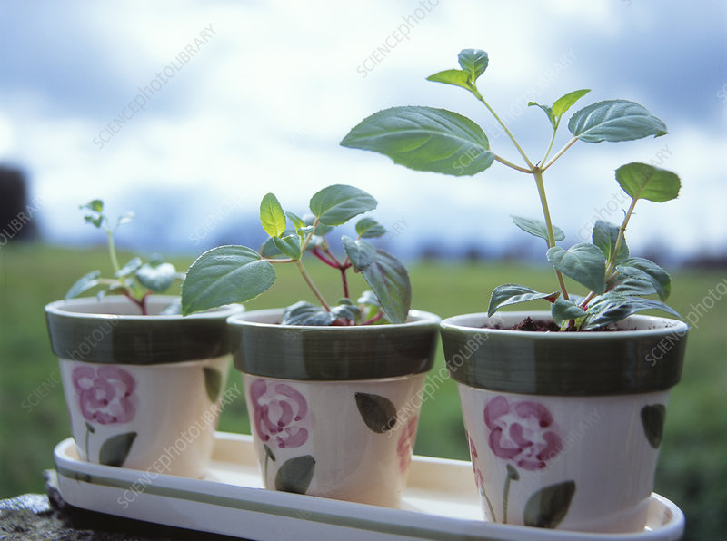 Fuchsia pot plants