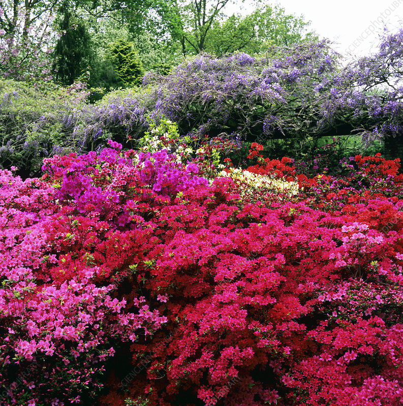 Rhododendrons at a garden