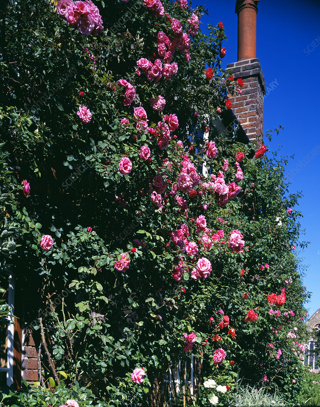 Roses climbing a cottage wall