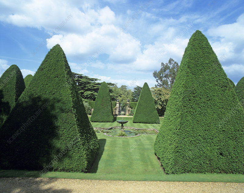 Yew trees in an ornamental garden