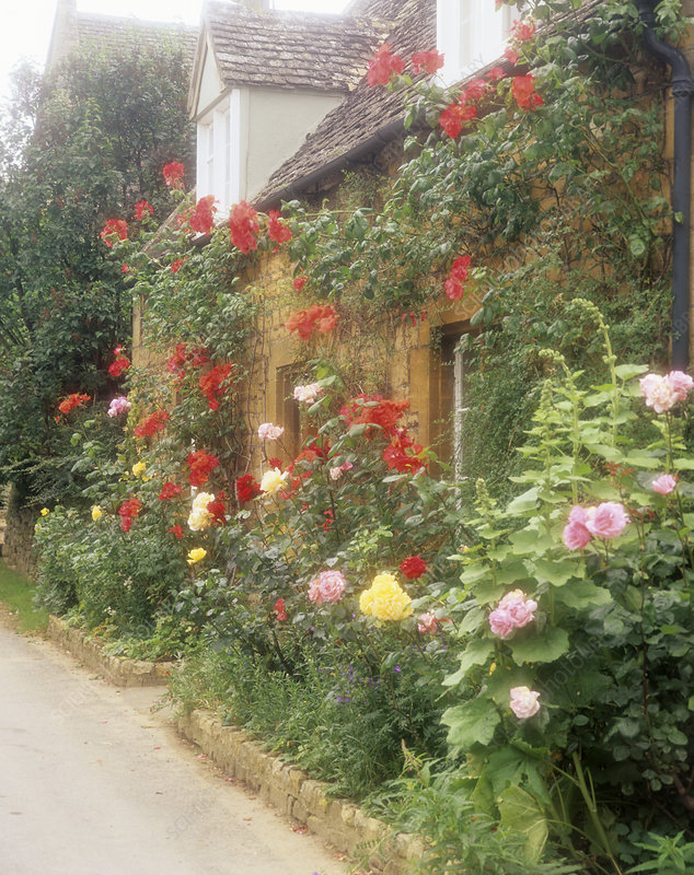 Roses outside a cottage