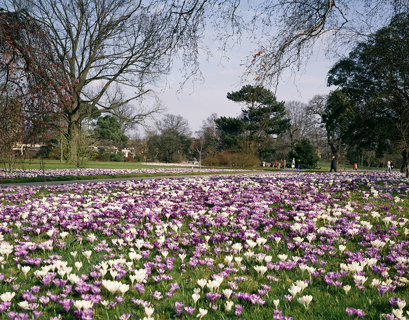 Crocus beds at Kew Gardens