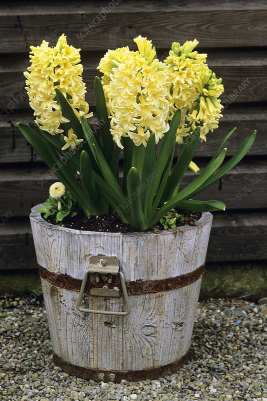Hyacinthus 'City of Harlem' flowers