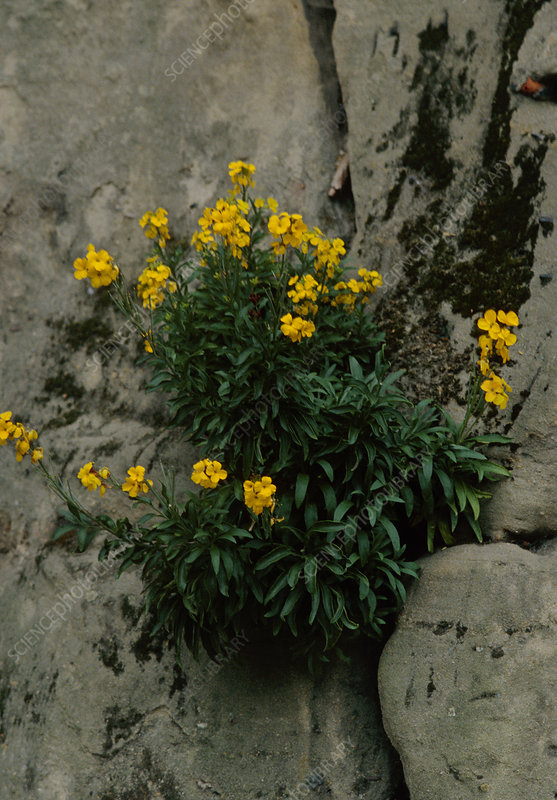 English wallflower (Erysimum cheiri)