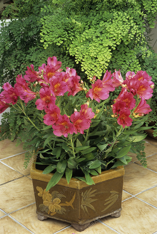Alstroemeria 'Princess Ruby'