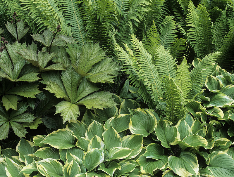 Hosta, Rogersia and Matteuccia plants