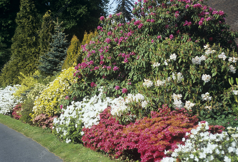 Rhododendron and Azalea bank