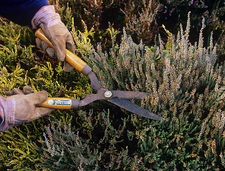 Pruning heather