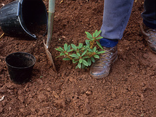 Planting a rhododendron