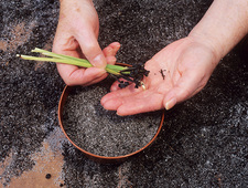 Sowing blue-eyed grass seeds