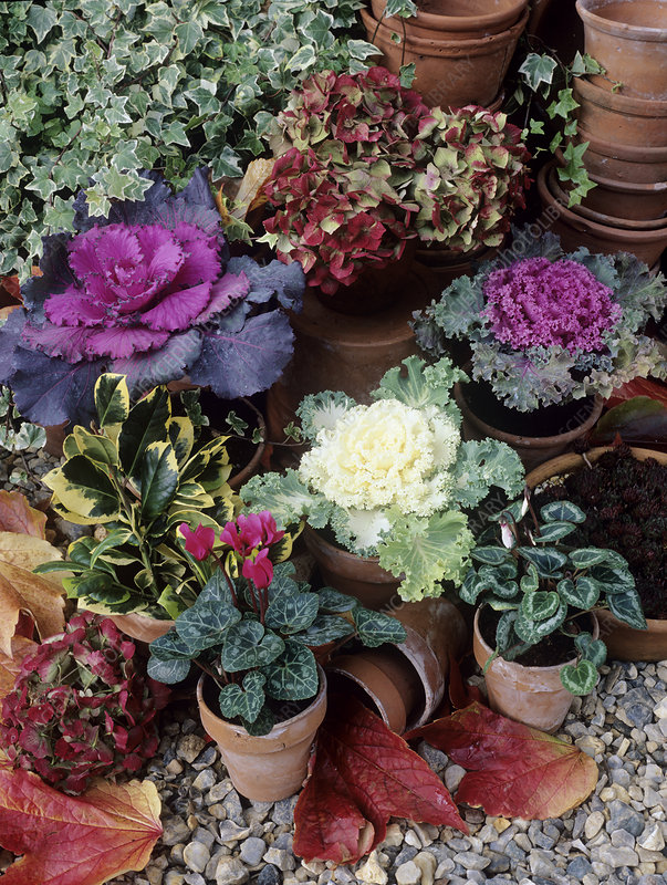 Ornamental cabbages (Brassica oleracea)