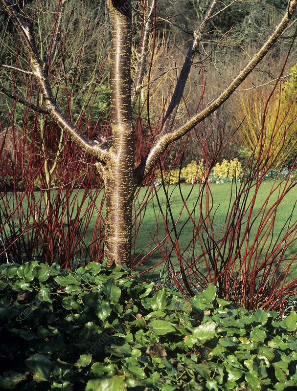 dogwood cornus alba 39 sibirica 39 stems stock image b630. Black Bedroom Furniture Sets. Home Design Ideas