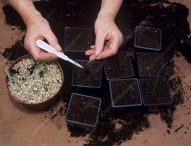 Allium propagation