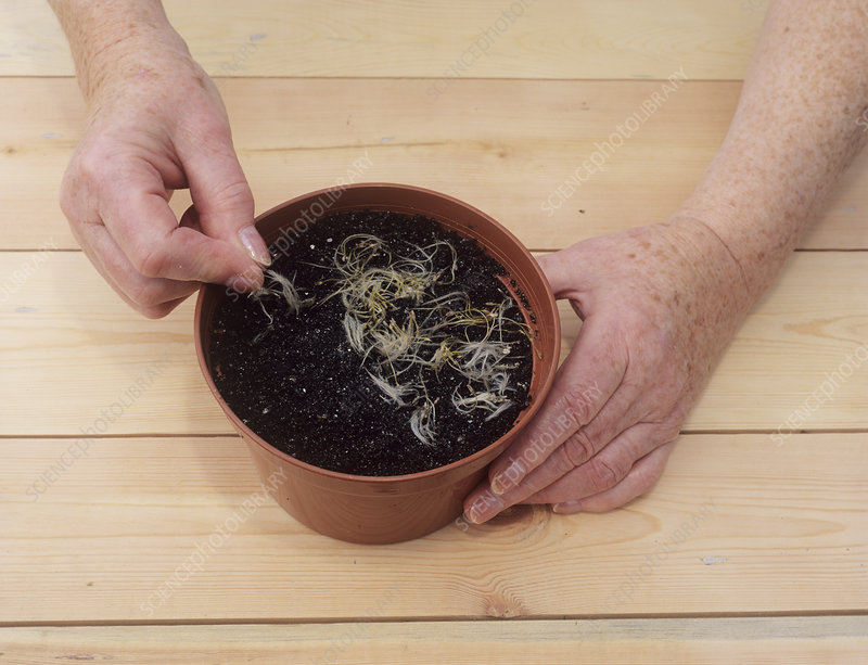 Sowing clematis seeds