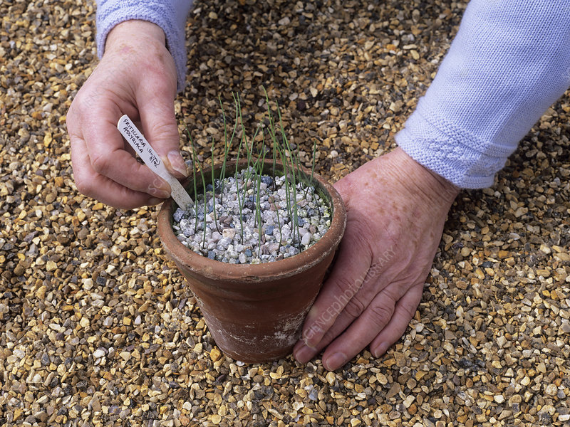 Fritillaria seedlings