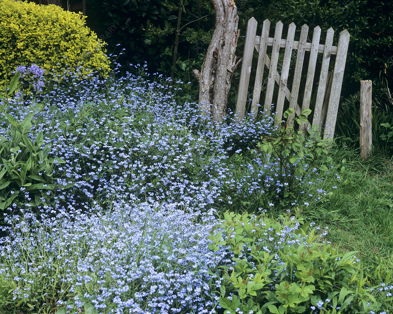 Forget-me-nots (Myostotis 'Blue Ball')