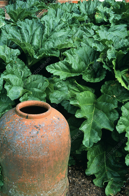 Rhubarb plants with forcing pot