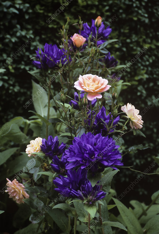 Clustered bellflower and rose flowers