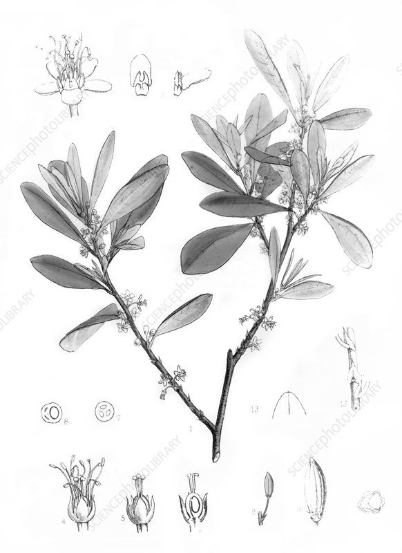 Engraving of Erythroxylon coca, cocaine