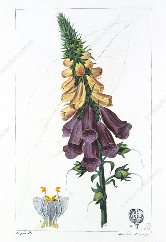 Engraving of foxglove flower, Digitalis