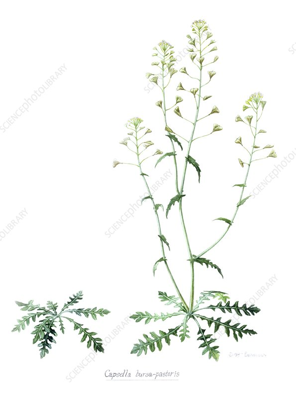 Artwork of Shepherd's Purse plant
