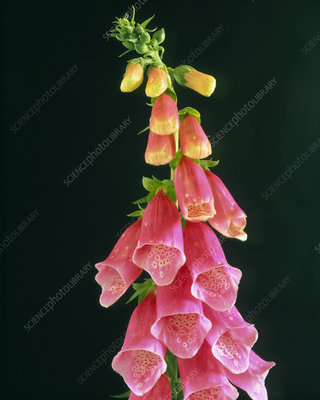 Flowers of the foxglove, Digitalis