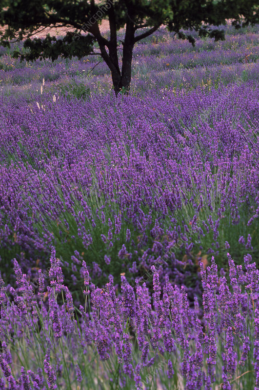 Lavender in flower, Provence, France.