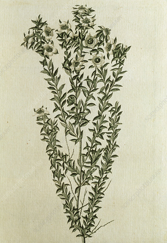 Engraving of a tea-tree, 1777