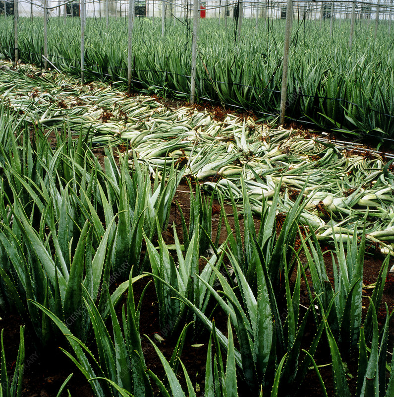 Fields of Aloe vera being harvested