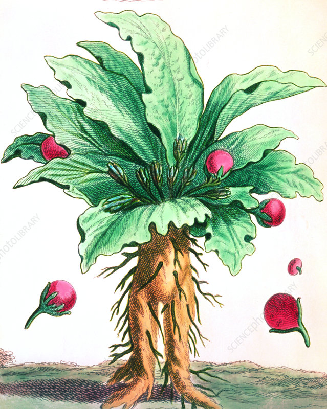 1776 engraving of a mandrake root
