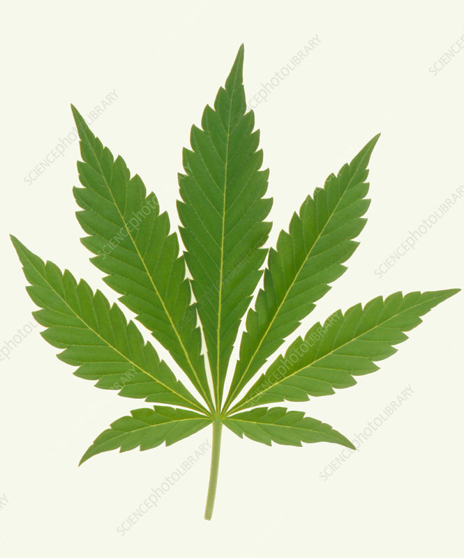 Leaf of marijuana plant, Cannabis sativa
