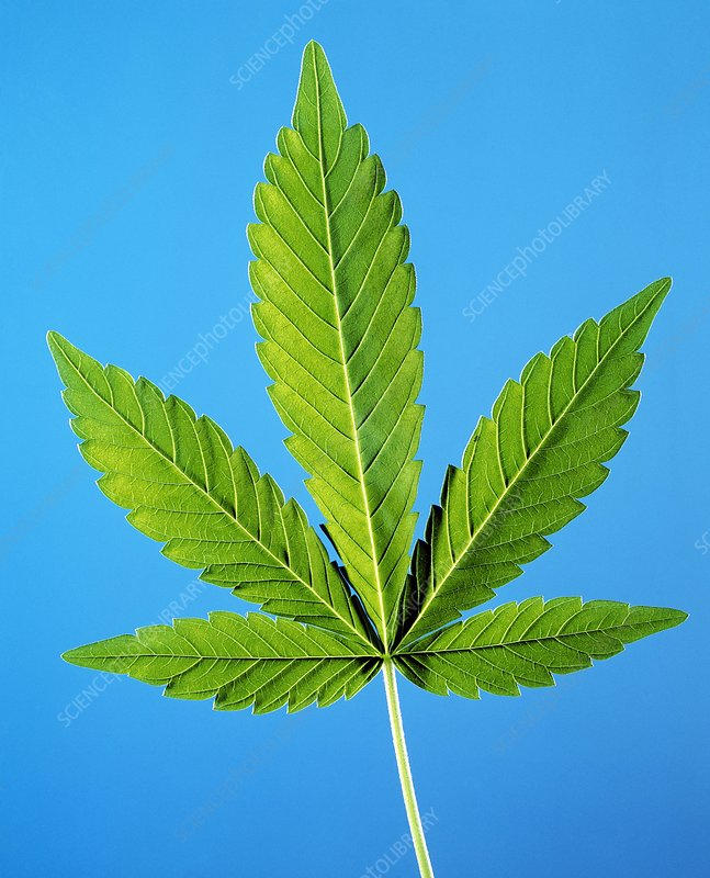 Leaf of marijuana plant, Cannabis