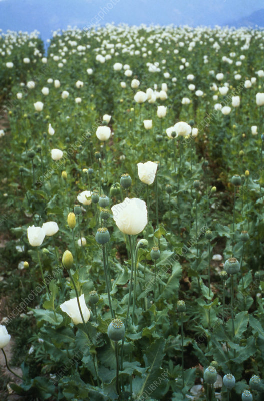 Opium poppies in a field